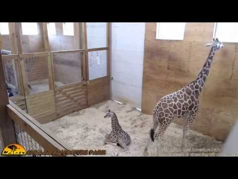 Tuesday Giraffe Cam (5-30-17)   lodynt.com  لودي نت فيديو شير
