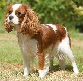cavalier king charles spaniel razas de perros pequeños