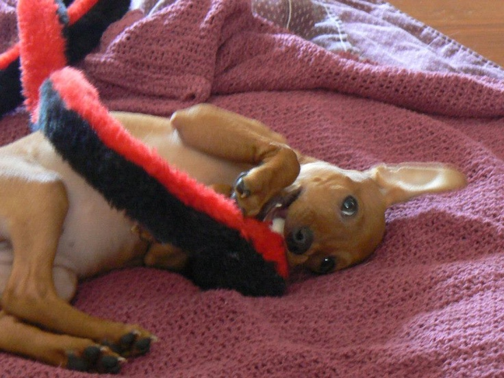 This is Mila nicknamed 'Rubyroo'. Mila is a miniature pinscher puppy from an Animal Rescue in the Durham Region area.