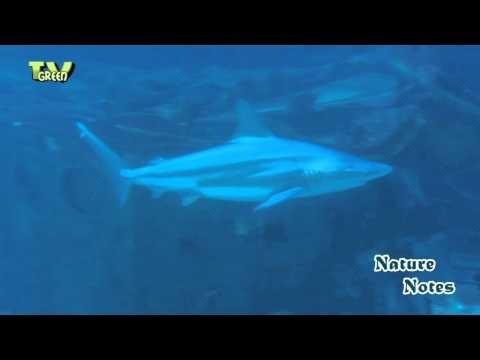 Hier maak je een reis over de bodem van het Zuidoost-Aziatisch koraalrif. Het begint in de ondiepe lagune met duizenden kleurrijke vissen en prachtige koralen, totdat je op de rand van het koraalrif staat en de eindeloze open oceaan in kijkt.    Looking for broadcast footage? Don't shoot! Contact http://www.stockshot.nl/ ©  playlist aquatic: http://www.youtube.com/view_play_list?p=7683951DF98009