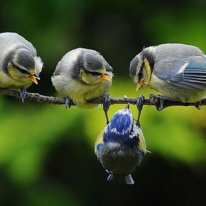 """* * """" Diet izn't workin', eh junior?"""" JUNIOR: """" Shuts yer beaks ands helps…                                                                                                                                                                                 Más"""