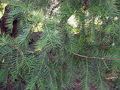 "Torreya nucifera bgiu.jpg ""Torreya nucifera is a slow-growing, coniferous tree native to southern Japan and to South Korea's #Jeju_Island. It is also called kaya (榧?) Japanese torreya[1] or #Japanese_nutmeg_yew."" #Go_board"