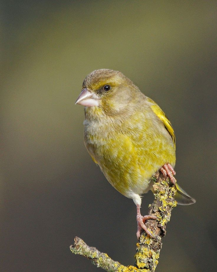 Best ID - could be Greenfinch JC
