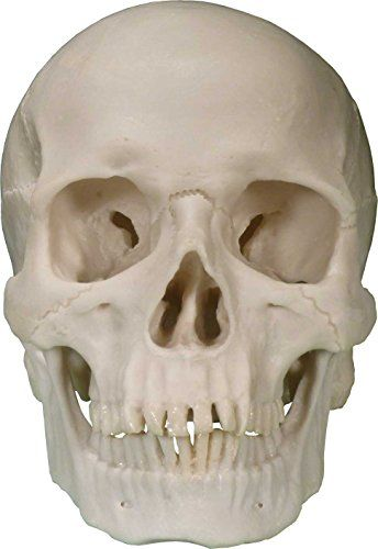 Car Check Up >> Life-Size Human Skull Replica, By Nose Desserts, 2015 Amazon Top Rated Anatomical Models #BISS ...