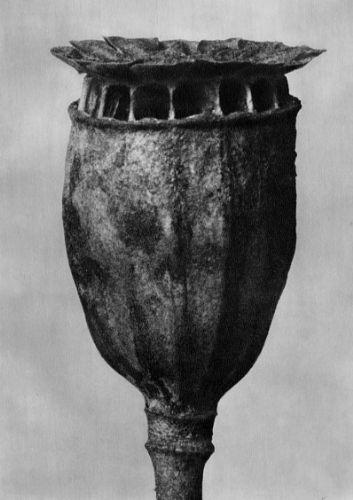 Karl Blossfeldt, Papaver, Poppy, seed capsule