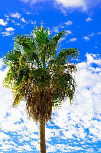 Palm Tree, Tenerife, Canary Islands