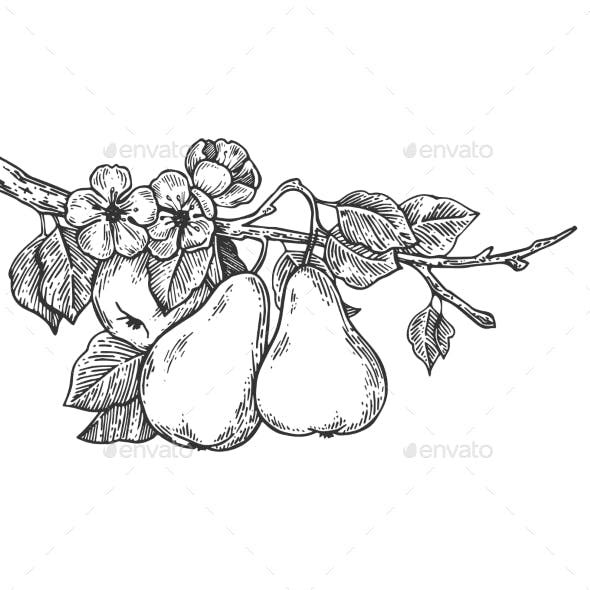 Pear Tree Branch Engraving Vector Illustration Flower Drawing