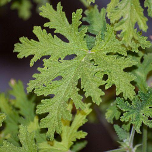 Martha Washington Geraniums Care: 17 Best Ideas About Geranium Care On Pinterest