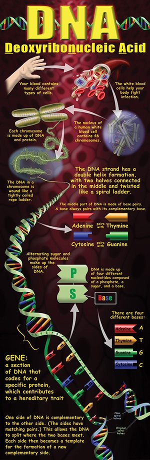 20 best dna images on pinterest dna genetics anatomy and science dna poster malvernweather Image collections