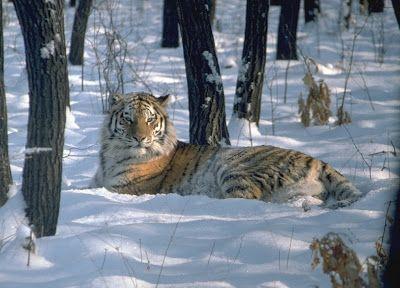Tigre de Amur o tigre siberiano (Panthera tigris altaica) Peligro de extinción