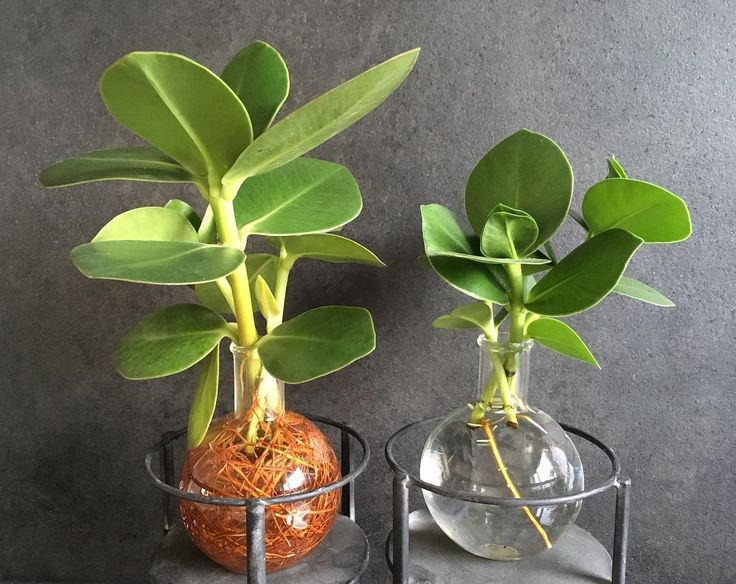 You are right @greenthumbbr it takes a long time before a little branch of a clusia start rooting. The right one is for 7 weeks in water, the left one for 9 months. Good luck! @plantenfestijn #clusiaprincess #airpurifying #intenzhome