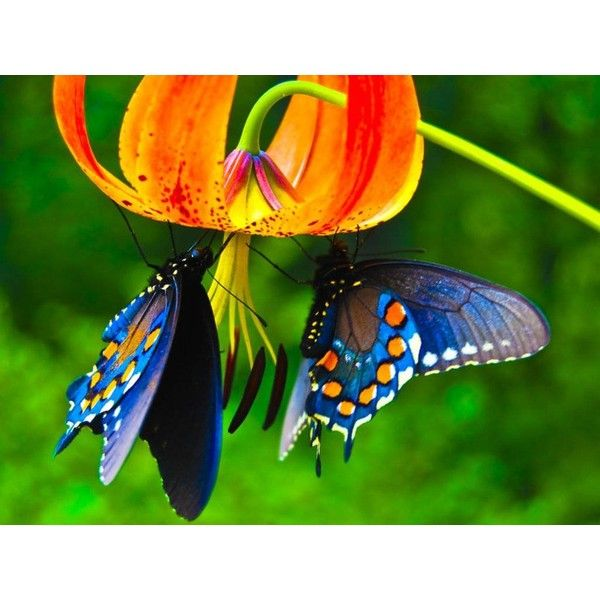 blue butterflies liliesjpg - photo #3
