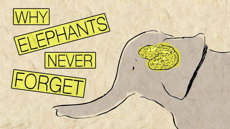 """In """"Why elephants Never Forget,"""" a Ted-Ed Lesson directed by Alex Gendler and animated by Avi Ofer, narrator Pen-Pen Chen talks about the incredible intellect, memory, and empathy of elephants. The..."""