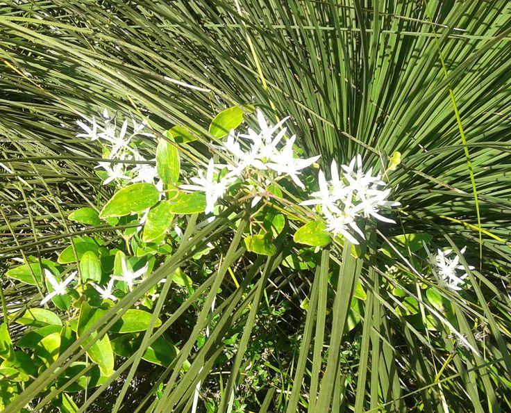 a wild flower near Albany WA