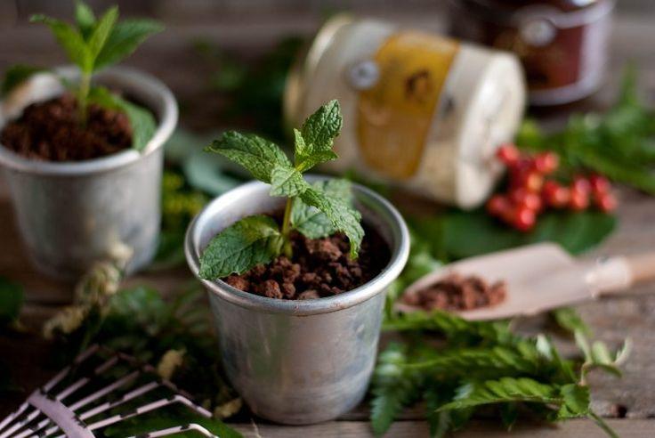 Piantine di mousse al cacao e semifreddo ai pinoli   Babbi