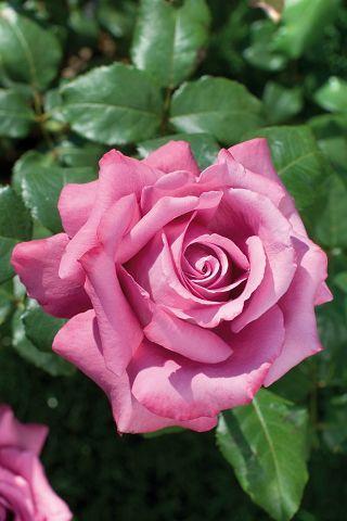 rosier buisson - Google Търсене