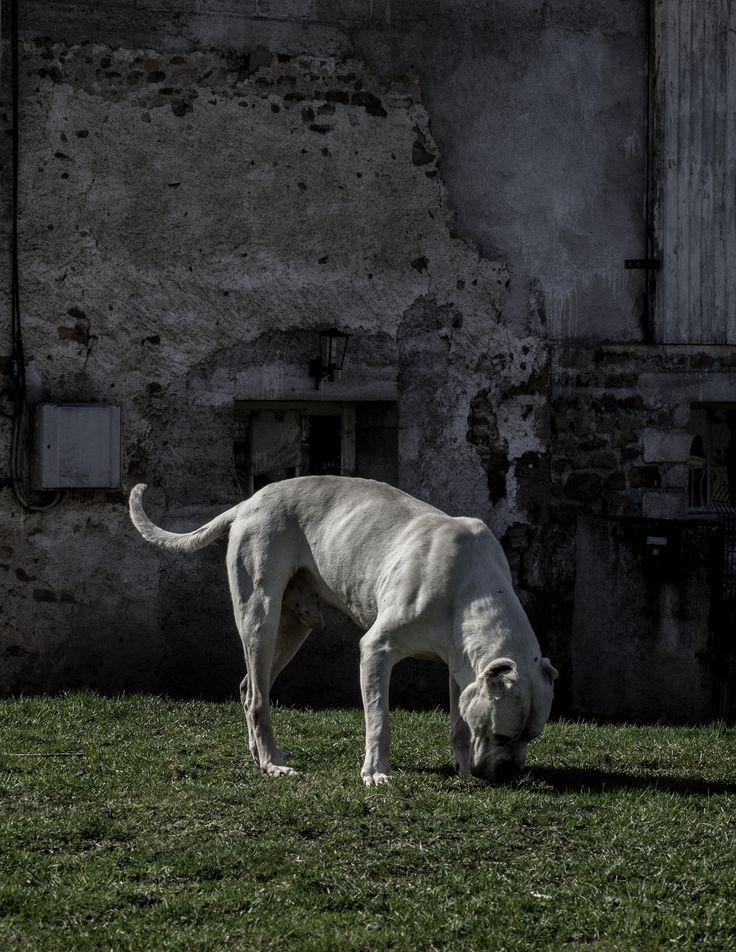 Dogue argentin.