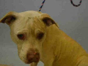 12/1/16 NYC ACC WANTS TO GET RID OF ANOTHER PRECIOUS SENIOR!! LISTED TO BE MURDERED BY NOON TODAY!! SO HEARTBREAKING !! SUPER URGENT Manhattan Center DIJON – A1098013 MALE, TAN / WHITE, PIT BULL MIX, 9 yrs STRAY – STRAY WAIT, NO HOLD Reason STRAY Intake condition GERIATRIC Intake Date 11/26/2016, From NY 11432, DueOut Date 11/29/2016