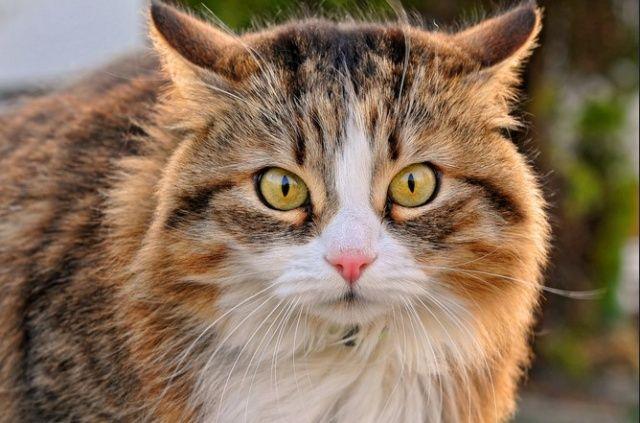 Sei que pode parecer tendencioso, mas devo dizer que nós os gatos somos animais inteligentes, muito amorosos; numa única palavra: únicos. Deixo aqui algumas curiosidades desvendadas, para que nos conheça ainda melhor.