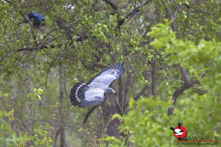 Dive bombers: Starling and Drongo tag-team to take on an African Harrier-Hawk. #birding
