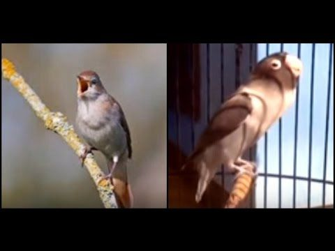 Masteran Burung Murai : Mix Nightingale dan Lovebird