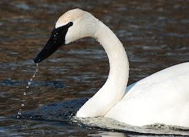 A trumpeter swan in Valley, Nebraska!  We wouldn't have believed it if others on lake hadn't confirmed what we saw.