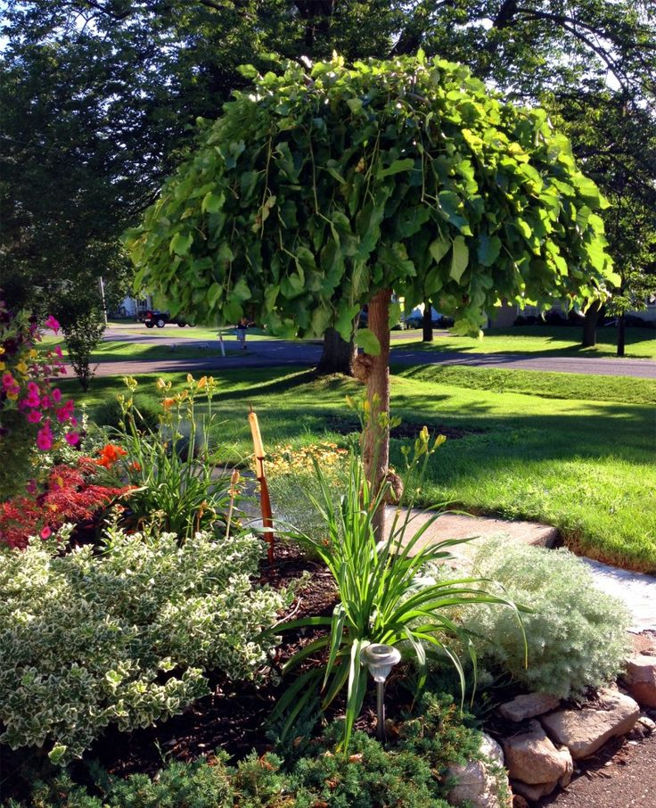 The appeal of the weeping mulberry view from the front for Weeping evergreen trees for small gardens