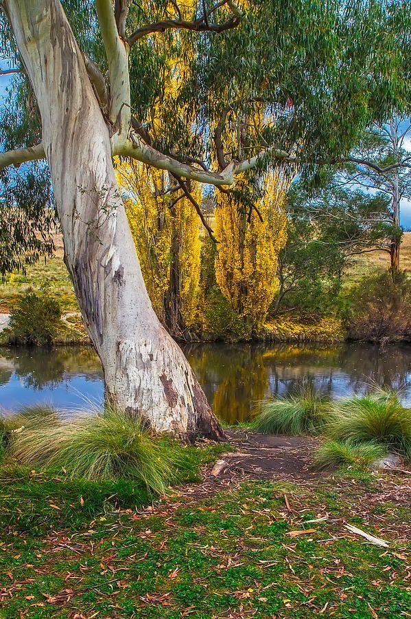 ✮ Gum Tree on the banks of the Thedbro River - Jindabyne, Australia