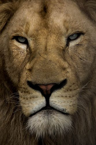 Every time I look at a lion I see the face of God. Maybe it's just from watching Narnia but I think god made the lion to show us just how powerful and amazing He really is. HE makes us as bold as a lion. And I mean look at this lion. Does this lion not stir something in your soul like fire ?? My gods not dead he's roaring like a LION. -Hal