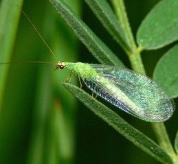 17+ images about Beneficial Insects on Pinterest   Gardens ...