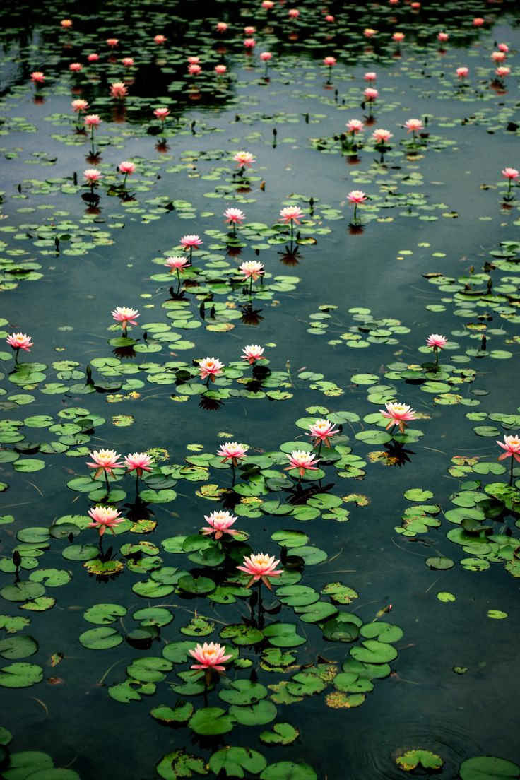 782 best water lilies images on pinterest lotus flower lotus water lilies for for pond izmirmasajfo Gallery