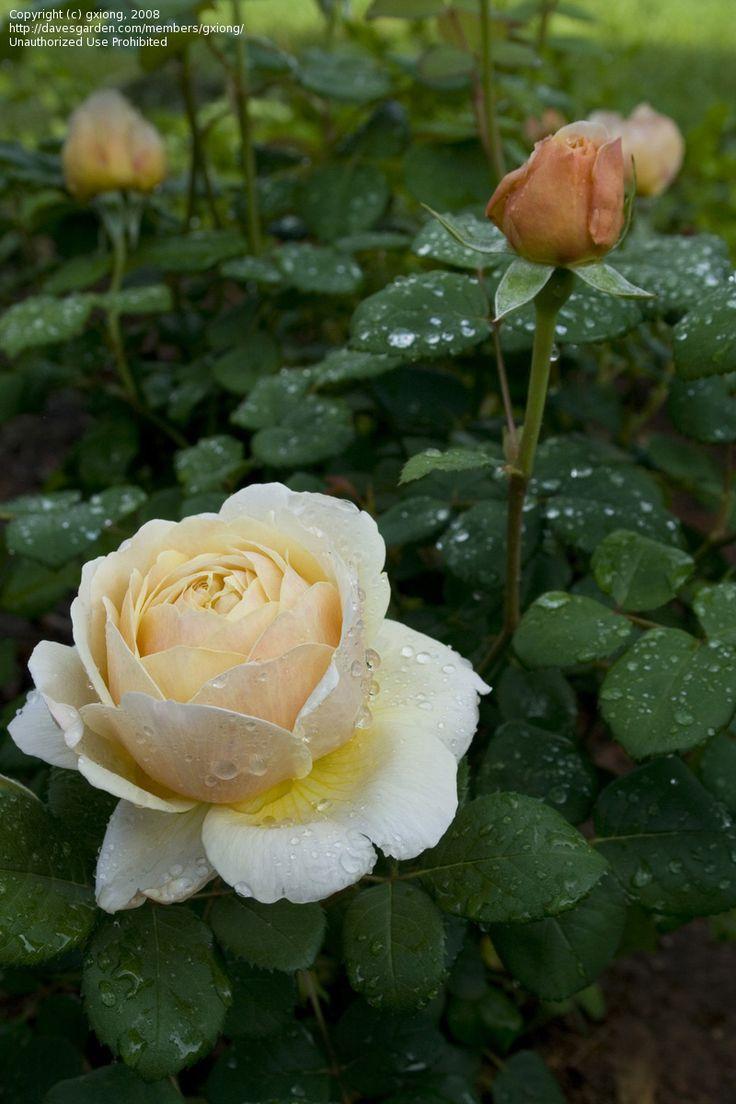 English rose gardens english rose garden seend - Plantfiles Pictures English Rose Austin Rose Charles Darwin Rosa By