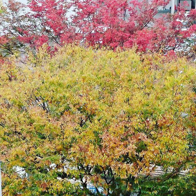 支部から見える街路樹が良い色になりました #東亜和裁 #東亜和裁紅葉まつり2016  #静岡