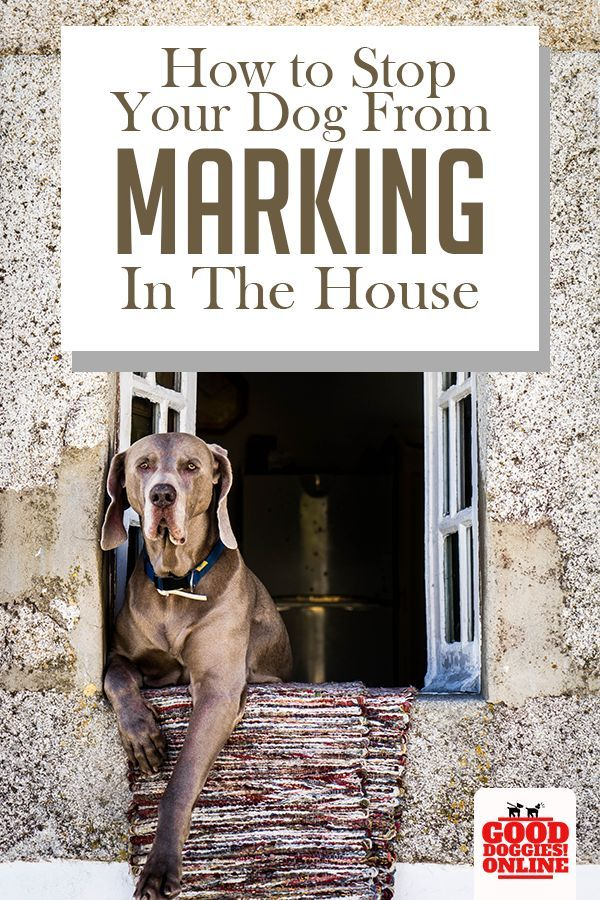 Is Your Dog Marking In The House Or On The Furniture Check Out