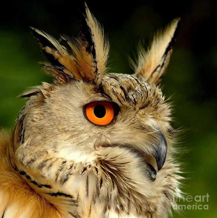 Eagle OwlOwls Raptor, Animal Photographers, Art Prints, Photodream Art, Owls Photographers, Hootie Owls, Eagles Owls Hawks, Animal Birds Owls, Owls Eagleowl