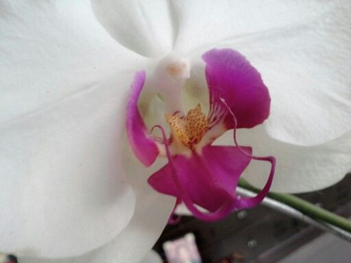 Moon orchid, up close