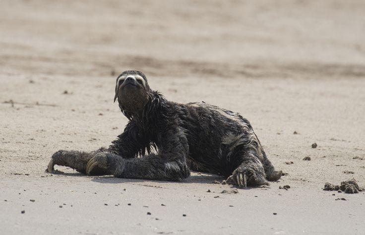 https://flic.kr/p/PLL98C | Peru | Peru. Three toed sloth in Manu National Park.