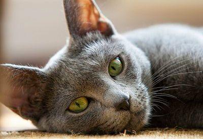 10 Top Non-Shedding Cats - Care.com Community