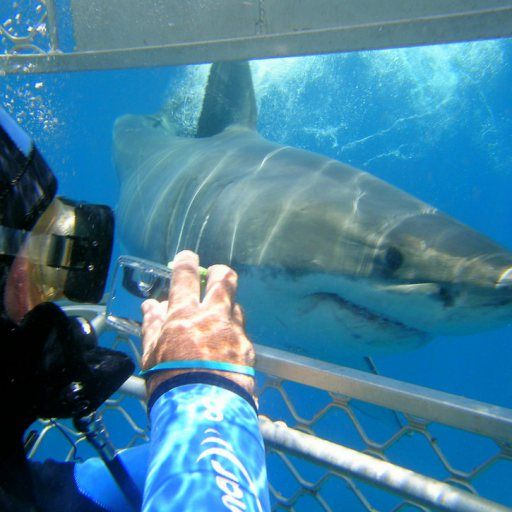 Cage diving with Great White Sharks in Port Lincoln, australia
