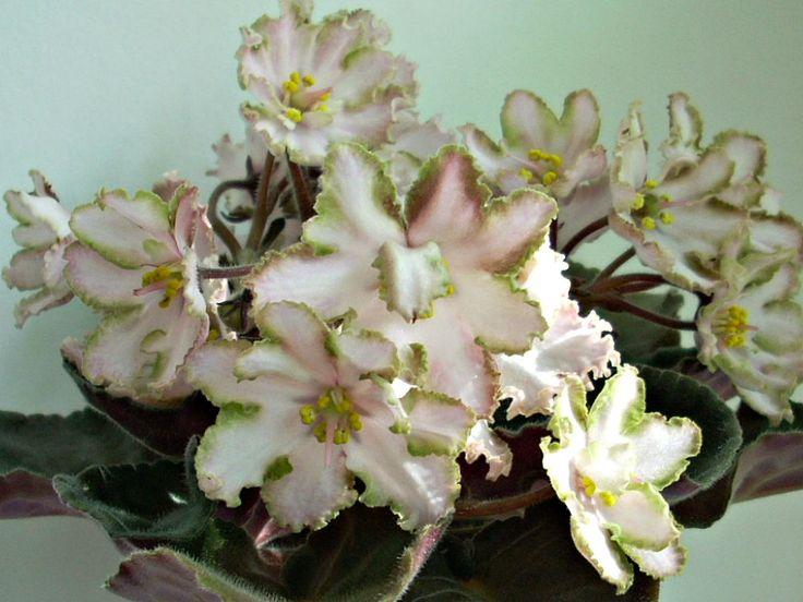 African violet,Saintpaulia PT-Dance of Reed (Pugacheva) starter plant