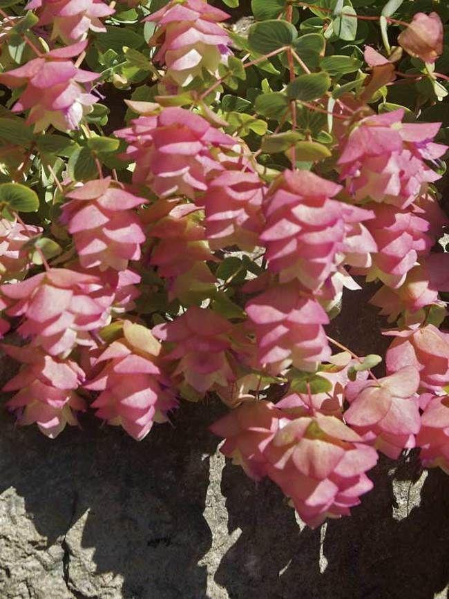 Origanum Kent Beauty -- Bluestone Perennials