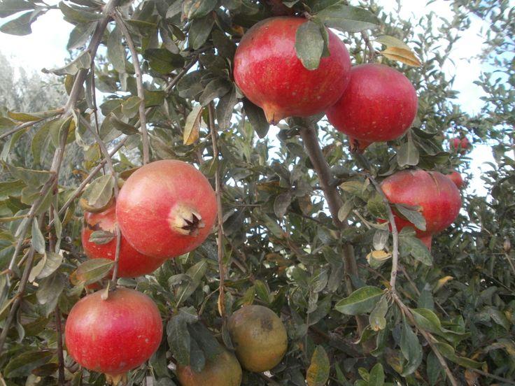 """""""Granadas"""" Frutas. (Spain)"""