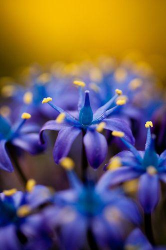 .Sapphire Blue, Mauve, Nature, Colors, Periwinkle, Book, Gardens, Bulbs, Blue Flower
