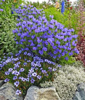 """Echium plantagineum """"Blue Bedder"""" Goof proof, bee-loved and blue, this bountiful bloomer from the Mediterranean is deer proof, too! Fast growing into an impressive mound 20"""" x 20"""" (in rich soil) of blue, cup-shaped blooms with pink buds, it blooms for months!"""
