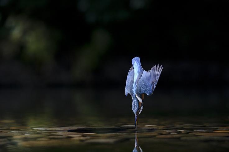 Rei Pescador. Ocells.
