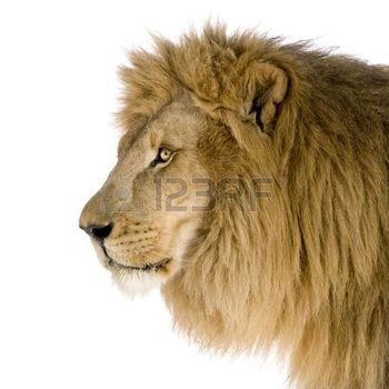 lew%3A+Lion+%288+lat%29+-+Panthera+leo+z+przodu+bia%C5%82e+t%C5%82o