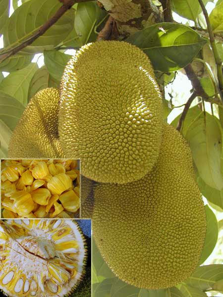Jackfruit - One of the best fruits to try if you are visiting Jamaica. Best place to buy is near flat bridge on the road to Ocho Rios. www.jamaicatravelsaver.com