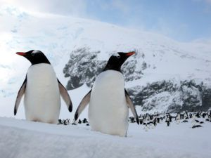 Gentoo Penguins Fun Facts for Kids Penguins 101 #penguin interesting facts about the Gentoo penguin