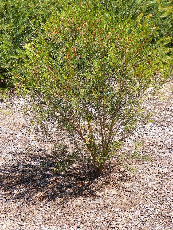Chamelaucium Purple Pride plant - Chamelaucium - Wikipedia, the free encyclopedia