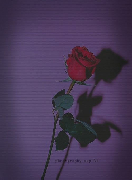 R O S A | Aesthetic roses, Aesthetic wallpapers, Rose wallpaper